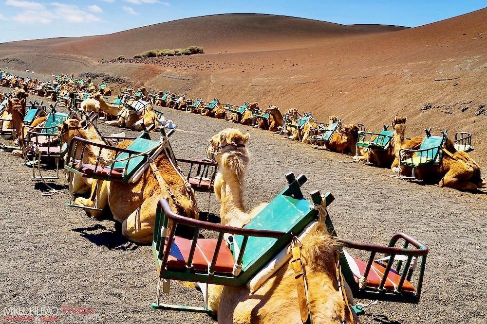 Paseo en camello al pie de la montaña de fuego Timanfaya en Lanzarote