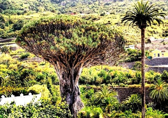 Giant drago tree in Icod de los Vinos