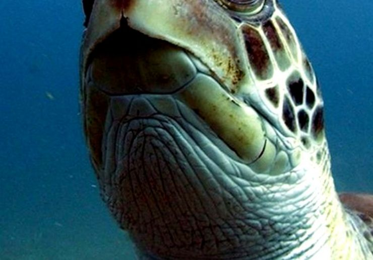 See turtle underwater open water diving