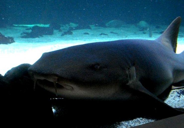 Lanzarote shark diving Costa Teguise