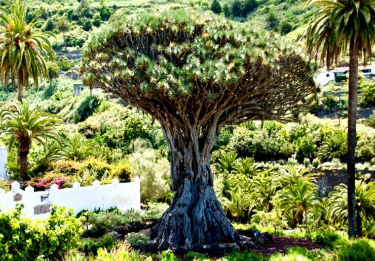 one of the largest know Dragon Tree in Icod de los Vinos Tenerife